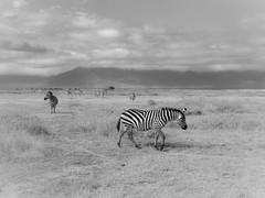 ZEBRA CROSSING (eliewolfphotography) Tags: zebra zebras wildlife wildlifephotographer wildlifephotography nature naturelovers nikon naturephotography natgeo naturephotographer conservation conservationphotography animals africa african tanzania safari serengeti serengetinationalpark blackandwhite bnw