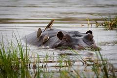 Körperpflege (100er) Tags: afrika botswana okavangodelta flusspferd hippo 100er nikon