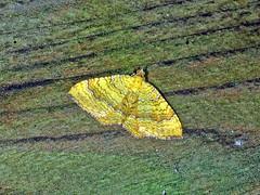 Ockergelber Blattspanner (Camptogramma bilineata) (Hans-Georg Knöß) Tags: ockergelberblattspanner blattspanner lepidoptera schmetterling falter spanner geometridae larentiinae camptogramma