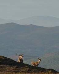 Red Deer in the Highlands (Gavin MacRae) Tags: reddeer reddeerstag reddeerrut stag deer royalstag roaringstag bellowingstag strathglass glenaffric glenstrathfarrar glencannich goldenhour highlandnature highlandwildlife highlands highlandlandscape highland highlandsofscotland scottishwildlife scottishnature scottishhills scottishlandscapes autumn autumnwildlife autumncolors nature nikon wildlife scotland
