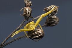 """I Once Caught a Fish This Big"" - _TNY_0957 (Calle Söderberg) Tags: macro canon canon5dmkii canoneos5dmarkii canon5dmarkii 5d2 canonef100mmf28lmacroisusm raynox dcr250 flash godox thinklite tt685c plåtdiffusorv3 arachnida araneae thomisidae misumena vatia goldenrodcrabspider flowercrabspider blomkrabbspindel veränderlichekrabbenspinne spider spindel spinne crabspider krabbspindel krabbenspinne yellow hug hugs huggy outstretched ambush waiting wiltedflower heartleafoxeye telekia speciosa strålöga deadflower f22"