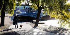 Stockholm, September 19, 2019 (Ulf Bodin) Tags: autumn willowtree sverige water streetphotography outdoor tegelbacken walkingthedog sun man tree träd dog canonrf85mmf12lusm stockholm höst canoneosr sweden urbanlife stockholmslän