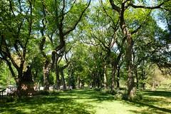 Under the Elm canopy (ho_hokus) Tags: 2019 centralpark fujix20 fujifilmx20 manhattan nyc newyorkcity trees tree nature branches themall elm