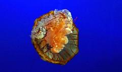 Jellyfish (Bad Kicker) Tags: jellyfish