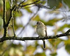 Willow Flycatcher (nickinthegarden) Tags: willowflycatcher abbotsfordbccanada