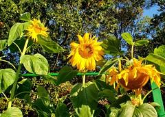 Sunflowers (SurFeRGiRL30) Tags: sunflowers flowers fall autumn yellow nj newjersey