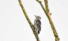 Hairy Woodpecker (nickinthegarden) Tags: hairywoodpecker willbandcreekpark abbotsfordbccanada