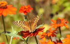 Variegated Fritillary - Euptoieta claudia (annette.allor) Tags: euptoietaclaudia butterfly variegatedfritillary