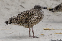 Juvenile Lesser Black-backed Gull (markus.jacobs1899) Tags: d500 helgoland tiere natur vögel wildtiere