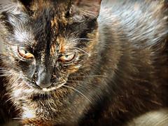 365/284 - Solar kitten (Isola della Fenice) Tags: kitten cat tortoiseshellcat tortie carey tricolor squamaditartaruga gattatartarugata escamadetartaruga écailleditortue schildpatt 365the2019edition 3652019 day284365 11oct19 littledoglaughedstories