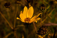 Late Bloomers 2 (nwalthall) Tags: lansdscape coreopsis