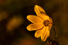 Late Bloomers 3 (nwalthall) Tags: lansdscape coreopsis