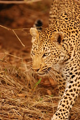 Big Male Leopard on the Move (DeniseKImages) Tags: wildlife africa cat leopard leopards grass southafrica nature wild animal animals wildanimals wildanimal spot spots leopardsspots bigfive big catbig cats
