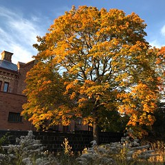 Autumn Maple (halleluja2014) Tags: autumn maple afternoon autumncolors acer dalarna platanoides höst falun lönn norwaymaple skogslönn mästerjonsgränd september frön goldenrodseeds höstgullris
