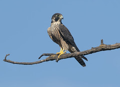 Peregrine Falcon (Hockey.Lover) Tags: peregrinefalcon birds coyotevalley