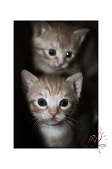 Hear my name (orichier) Tags: kitten cat domestic animal pet birth look blue feline chat chaton