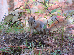 little squirrel (-Brianne) Tags: squirrel animal cute rodent wild nature