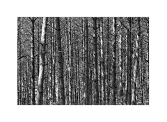 Wolfi's Wald (Armin Fuchs) Tags: arminfuchs nomansland wolfiwolf forest wald wolfiswald trees light shadow stripes anonymousvisitor thomaslistl jazzinbaggies