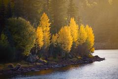 White Mountains-0534 (Michael-Wilson) Tags: autumn fall michaelwilson lake sun sunset arizona southwest aspen trees sunlight lakeshore shore water yellow painterly