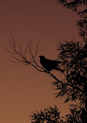 silohette crow (S. J. Coates Images) Tags: crow tree silhouette morning bird princeedwardcounty