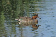 green wing drake (S. J. Coates Images) Tags: brighton constructed wetland duck drake greenwinged teal water waterfoul
