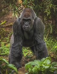 Im ready are you? 2019 (TheArtOfPhotographyByLouisRuth) Tags: gorilla ape amazingcapture animal portrait artofimages special prophotos art stance beautifulcapture animalsworld zooanimals woodlandzoo seattlezoo