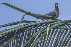 TURACO (Ezio Donati is ) Tags: uccelli birds animali animals natura nature alberi trees palma palm cielo sky westafrica costadavorio abidjan