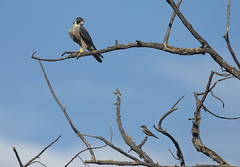 Say What?? (Hockey.Lover) Tags: saysphoebe peregrinefalcon birds coyotevalley