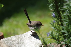 female superb fairy wren (nickant44) Tags: wren bird backyard australia pentax k01 sigma 100300mm green garden