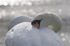 Nap Time (Tanya - Hibernating for the winter!!) Tags: whiteinbacklight white nap sleeping bird swan muteswan sleepy animal smileonsaturday ybs2019 nature wildlife