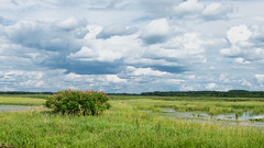 Staghorn sumac (Wicked Dark Photography) Tags: landscape wisconsin clouds lake nature paddling sky sumac summer water wetland wetlands