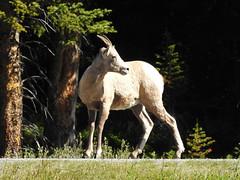 Big Horn Sheep (pamfromcalgary) Tags: kananaskis pamhawkes animals animal bighornsheep nature