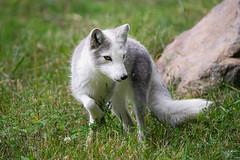 Arctic Fox | Québec (dawvon) Tags: sainteannedebellevue quebec canada wildlifephotography bokeh fox arcticfox québec ecomuseum mammal nature animals northamerica montréal america zoophotography travel