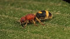 Female Velvet Ant (Mutillidae) (John Horstman (itchydogimages, SINOBUG)) Tags: insect macro china yunnan itchydogimages sinobug entomology canon wasp ant velvet hymenoptera mutillidae