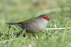 Red-browed Finch (Neochmia temporalis), Lamington National Park, Queensland, Australia (Daniel J. Field) Tags: redbrowedfiretail redbrowedfinch neochmiatemporalis