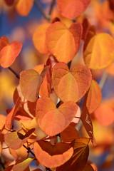 Katsura in Sunshine (macromerriment) Tags: katsura cercidiphyllum nature flora garden outdoors outside colour color light apricot orange red yellow blue richmond bc britishcolumbia canada tree leaves leaf sky