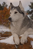 Aurora (Cruzin Canines Photography) Tags: dog dogs animal animals canon canine aurora 5ds canon5ds eos5ds canoneos5ds winter portrait snow nature outside outdoors husky colorado huskies siberianhusky coloradosprings palmerpark alaskanhusky autumn fall