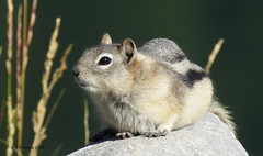 Golden-mantled Ground Squirrel (pamfromcalgary) Tags: kananaskis pamhawkes animal rodent goldenmantledgroundsquirrel nature