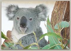 I like coffee because it gives me the illusion that I might be awake.  (Lewis Black) (boeckli) Tags: brisbane koala 016691 rx100m6 textures texturen texture textur ts2 topazstudio2 queensland lonepinekoalasanctuary animals tiere outdoor outside nature natur photoborder rahmen frame
