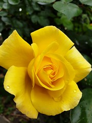 Love the colour.. Yellow Rose (ianbless05) Tags: flower roses rose macro closeup garden galaxy