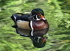 One more picture (EcoSnake) Tags: ducks woodducks waterfowl wildlife october fall idahofishandgame naturecenter