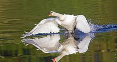 getting up speed - Riverside Valley Park, Exeter, Devon - Sept 2019 (Dis da fi we) Tags: devon getting up speed riverside valley park exeter mute swan cygnus olor