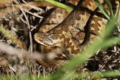Vipera Berus (ChristianMoss) Tags: adder snake reptile uk vipera berus