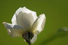White rose in backlight (juanita nicholson) Tags: smileonsaturday whiteinbacklight rose white petals backlight green garden nature outdoors flower ngysaex