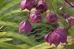 PurpleBells (Tony Tooth) Tags: nikon d7100 sigma 70mm flowers purple purpleflowers leek staffs staffordshire