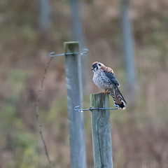 Not the least but one of many (nickinthegarden) Tags: americankestrel columbiavalley cultuslake chilliwackbccanada