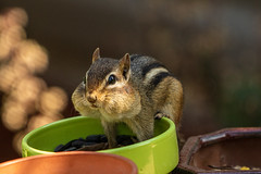 051A5063 (ka.champion) Tags: chipmunk sunflowerseeds wildlife rodent animal cute