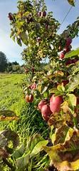 20191010_160943 (CSFS at UBC Farm) Tags: apples orchard