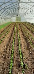 20191010_160120 (CSFS at UBC Farm) Tags: spinach hoophouse