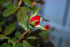 Red Rose Bud. (dccradio) Tags: lumberton nc northcarolina robesoncounty outdoor outdoors outside nature natural evening friday fridayevening goodevening nikon d40 dslr rose redrose roses rosebush rosegarden plant flower floral flowers bloom blooms blooming blossom blossoming blossoms